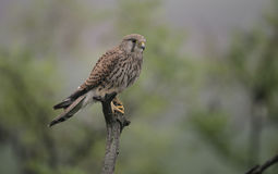Kestrel, Falco tinnunculus Stock Photos