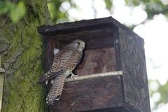 Kestrel, Falco tinnunculus, Stock Photo