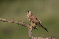 Kestrel, Falco tinnunculus Royalty Free Stock Image