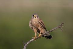 Kestrel, Falco tinnunculus Stock Photo