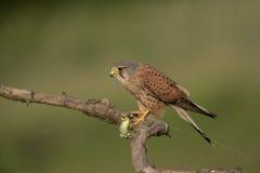 Kestrel, Falco tinnunculus Royalty Free Stock Photos