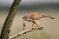Kestrel, Falco tinnunculus Stock Images