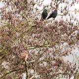 Kestrel Falco tinnunculus in tree with jackdaws Corvus monedu Royalty Free Stock Image