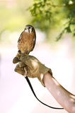 Kestrel Falcon. That is injured and being rehabilitated Stock Photography