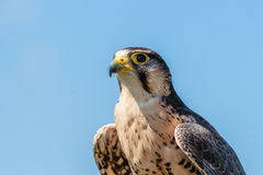 Kestrel falcon on blue background Royalty Free Stock Photography