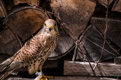 Kestrel falcon closeup. European kestrel falcon closeup bird falconer hunter Royalty Free Stock Images