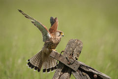 Kestrel Stock Photography