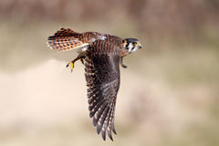 Kestrel In Flight Royalty Free Stock Images