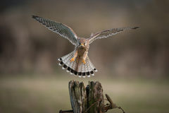 Kestrel in flight. Royalty Free Stock Images