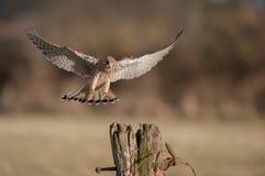 Kestrel in flight. Royalty Free Stock Photo