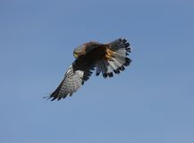 Kestrel in flight Stock Images