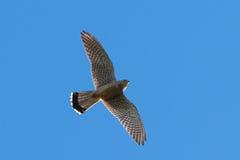Kestrel in flight Royalty Free Stock Image