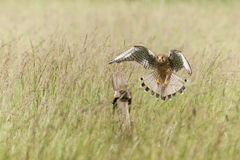 Kestrel in Flight Stock Image