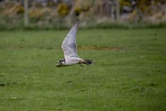 Kestrel in flight, flying Stock Photography