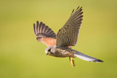 Kestrel in flight. Male Kestrel ( Falco tinnunculus ) bird in flight Royalty Free Stock Photography