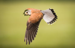 Kestrel in flight. Male Kestrel ( Falco tinnunculus ) bird in flight Stock Photo