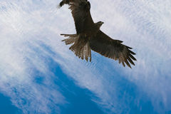 Kestrel flying in australia. Kestrel flying above the adelaide river in northern territory australia Stock Photography