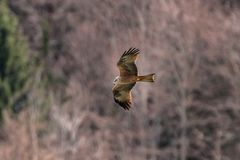 Kestrel flying and hunting. Kestrel bird Flying and hunting for a prey in the alps royalty free stock images