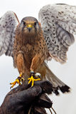 Kestrel and handler Stock Images