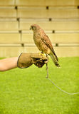 Kestrel, hawk. Kestrel during training on the hand Stock Photos