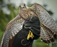 Kestrel, hawk. Kestrel on the hand flies to freedom Stock Photo