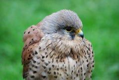 Kestrel, Hawk, Close-Up, Hunter Stock Photos