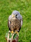 Kestrel Hawk. Stock Images