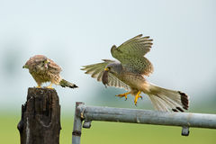 Kestrel and his young Stock Image