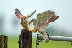 Kestrel and his young. Prey transfer between male kestrel and young Royalty Free Stock Image