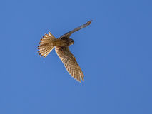 Kestrel hovering in the air Royalty Free Stock Photos