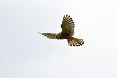 Kestrel hovering in mid air Royalty Free Stock Photos