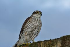 Sparrow hawk. Bold sparrow hawk on garden wall in London Royalty Free Stock Photography