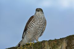 Sparrow hawk royalty free stock image