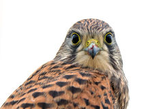 Kestrel, juvenile, face to face. After the last meal, still with meat on the beak, flew the juvenile kestrel up on the fence and looks down to me... in Uppland stock images