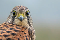 Kestrel, the juvenile, face to face Royalty Free Stock Photo