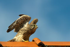 Kestrel, the juvenile Stock Image
