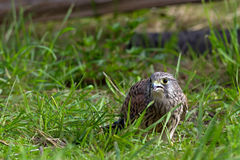 Kestrel, juvenile, on the ground. The juvenile kestrel (Falco tinnunculus) searching for food among the grass in Uppland, Sweden royalty free stock photos