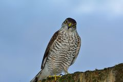 Sparrow hawk on wall. Inquisitive sparrow hawk on garden wall in London Stock Photos