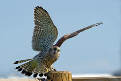 Kestrel, the juvenile, on the pole. The juvenile kestrel (Falco tinnunculus) prepare to leave the wooden pole in Uppland, Sweden stock image