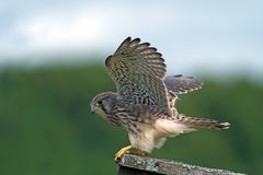 Kestrel, the juvenile, ready to take off Stock Photo