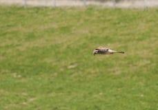 Kestrel latanie na zielonym tle Zdjęcia Royalty Free