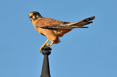 Kestrel Leaning on a Pole Stock Photos