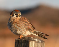 Kestrel Looking Back Royalty Free Stock Photos