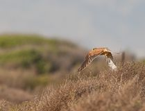 A Kestrel in low flight Royalty Free Stock Image