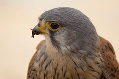 Kestrel Male Stock Images