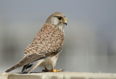 Kestrel. On my apartment terrace royalty free stock photos