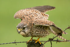 Kestrel Royalty Free Stock Image