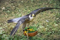 Kestrel with outstretched wings during takeoff. royalty free stock photo