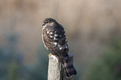 Kestrel. On a perch with a blurred background Stock Image