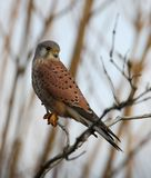 Kestrel Perched On Branch stock images